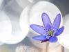 Hepatica Nobilis 4/25