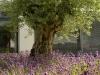 olivenbaum_mit_lavendel