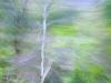 Birke im Fruehling